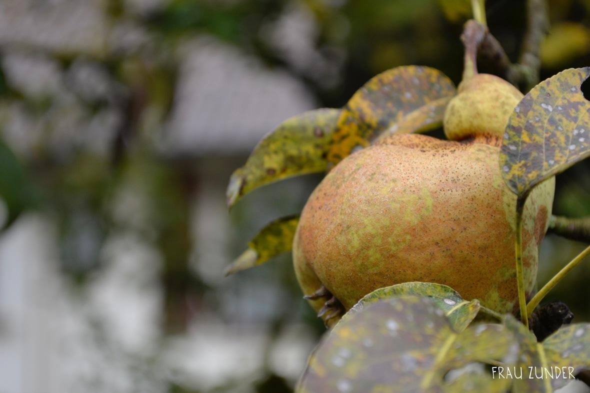 Birne im Herbst am Baum, Bad Mergentheim