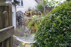 Spinnennetz mit Tautropfen, Bad Mergentheim