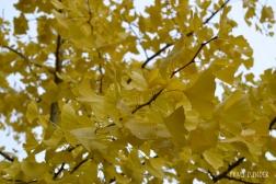Gelbe Ginkoblätter im Regen, Herbst, Ginko, Laub, Blatt, Bad Mergentheim
