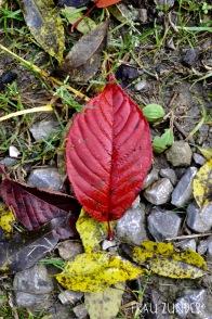 Rotes Blatt im Herbst, Bad Mergentheim